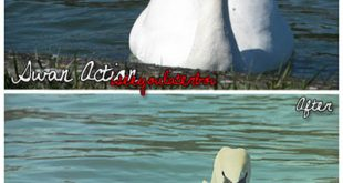 4photoshopir-Action-swan-اکشن قو