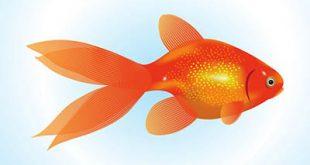4photoshopir-Goldfish-vector-pack1-وکتور ماهی قرمز پک1