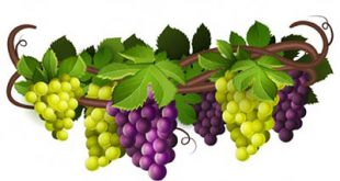 4photoshopir-grapes-vector-pack1-وکتور انگور پک1