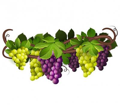 4photoshopir-grapes-vector-pack1-وکتور انگور پک1